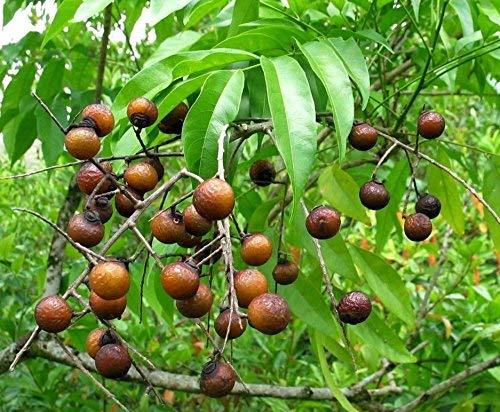 Rudrakash Plant